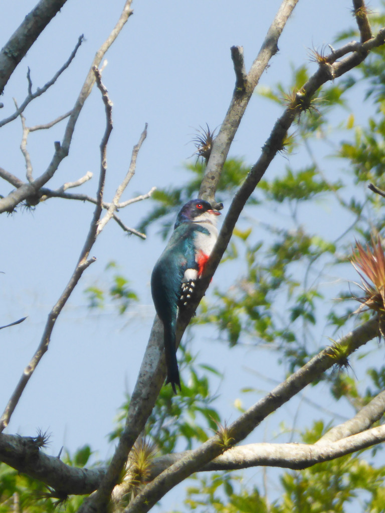 The Trogon - notice the colours are the same as the Cuban flag