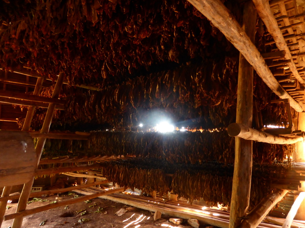Tobacco leaves drying in the air